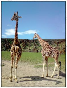 Travel Abroad To See Giraffes (Even If It Is Just In a Zoo) #PANDORAsummercontest