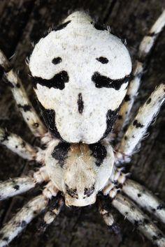 Prohibition Arachnid?