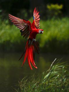 Macaw in flight #Macaw #Parrots.