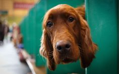 Fern, 2 years old, an Irish Setter from Wexford, Ireland arrives at Crufts in Birmingham