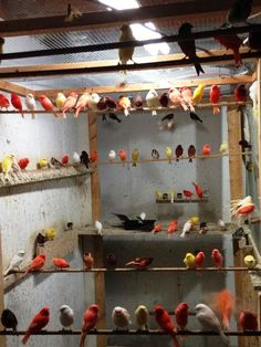***canaries -e.goldfinches & Mules -the Best Selection Of Birds In Usa*** in Troy, Michigan - Hoobly Classifieds: Finch Cage, Troy Michigan, Cheyenne Mountain, Canary Birds, Color Songs, Serin, Love Birds, Beautiful Creatures, Poultry