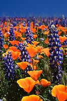 Hillside covered in purple lupine and orange poppies | Jim Patterson Photography