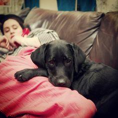 Love snuggling with my humans!  (Black Labrador Retriever)