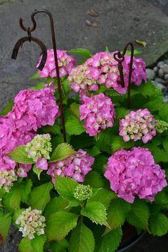 Hortenzie sú veľmi obľúbené. Najmä hortenzie kalinoslisté zapôsobia od júla až do jesene nádhernými veľkými modrými alebo ružovými kvetmi. Ak si chcete ich krásu znásobiť, môžete ich pomocou odrezkov veľmi ľahko rozmnožiť. Gardening, Flowers, Plants, Hydrangeas, Growing Up, Lawn And Garden, Plant, Royal Icing Flowers, Flower