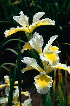 Iris 'Ila Crawford' (Spuria) AGM. Acid or neutral soil. Summer flowering.