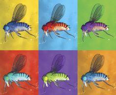 """""""Warholized"""" Drosophila melanogaster"""