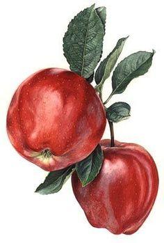 Illustration by Rosie Sanders Watercolor Fruit, Fruit Painting, China Painting, Vegetable Illustration, Fruit Illustration, Botanical Drawings, Botanical Prints, Painting & Drawing, Watercolor Paintings