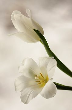 Buy flowers with firm petals or with buds that show a degree of colour to ensure the flowers will develop fully. Flowers For You, My Flower, White Flowers, Flower Art, Flower Power, Beautiful Flowers, White Tulips, Moon Garden, White Gardens