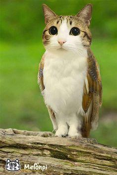 Chiboux : une tête de chat et un corps d'hibou !