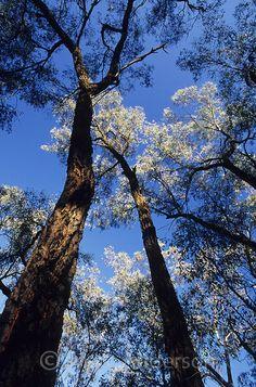 Ironbark trees, Eucalyptus sideroxylon, in Chiltern State Forest, Australia.