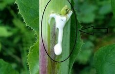 This Plant Is The best Natural Painkiller And It Grows In Your Backyard