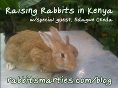 What is rabbit raising like in Kenya? I interview a gentleman who has a great vision for bolstering his Nairobi suburbs community through rabbit keeping. American rabbit raisers currently partner with breeders in Europe and Asia -- it's time to reach farther.