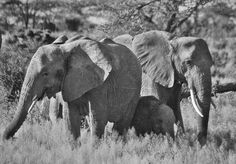 Family members protect calf, Samburu, Kenya photograph by Cheryl Merrill