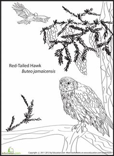 worksheets red tailed hawk coloring page