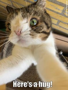 Monty Share with someone who could use a hug from a crazy happy little Monty cat Baby Kittens, Cats And Kittens, Kitty Cats, Cat Hug, Dog Cat, Beautiful Cats, Animals Beautiful, Down Syndrome Cat, Lots Of Cats