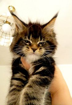 Big ears http://www.mainecoonguide.com/what-is-the-average-maine-coon-lifespan/