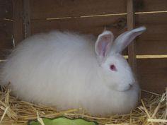 Raising Angora Rabbits For Wool: Angora rabbits are a profitable small livestock for the modern homestead. French Angora Rabbit, Farm Animals, Cute Animals, Rabbit Colors, Rabbit Breeds, Raising Rabbits, Funny Animal Quotes, Hobby Farms, Livestock