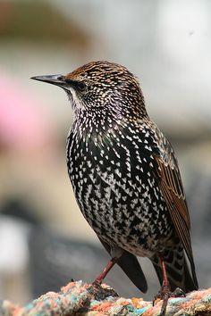 Common Starling (Sturnus vulgaris)  寻常椋 http://zh.wikipedia.org/wiki/椋鸟科