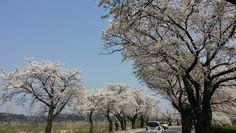 2015년 강릉경포벚꽃잔치