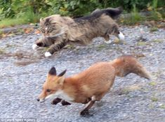 Nordish Forest cat chasing away a fox