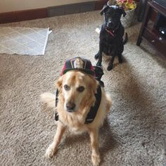 I'm out of town for work. Today is the first day of school in town. I asked my husband for a first day of school picture of our dogs. He did not disappoint. First Day Of School Pictures, Work Today, Bunnies, Husband, Internet, Dogs, Rabbits, Pet Dogs, Doggies