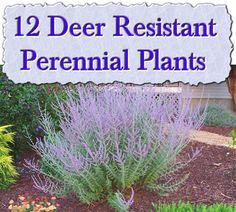 deer resistant shrubs
