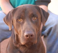 Duke is a handsome young Chocolate Labrador Retriever debuting for adoption today at Nevada SPCA (www.nevadaspca.org).  He is 2 years of age, neutered, and housetrained.  Duke attaches to women easily, but needs more time warming to men.  He was at another shelter that asked for our help because he won't tolerate other dogs.