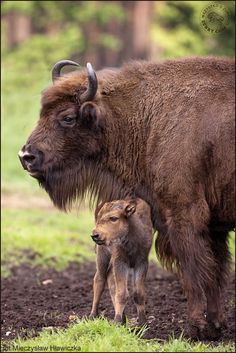 EUROPEAN BISON....aka the wisent, steppe buffalo, European wood bison....a large land mammal found in the temperate, coniferous forests in Europe....measures 7 to 10 feet long with a long tail....weighs from 660 to 2,000 pounds....in 1927 fewer than 50 existed but only in zoos....by the end of the war only 9 existed....extensive conservation efforts have been made....herds have been reintroduced across Europe and Russia....now 1,800 exist in the world and 1,400 are held in captivity (2004)