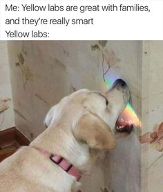 Just chasing rainbows over here..... #funny #dogs #labradorretrievers