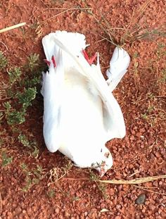 Dead Inhofe Pigeon