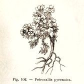 Vintage Petrocallis Pyrenaica flower illustration - from the book Flora Alpina, Turin, Italy, 1891, by Fratelli Roda, now in the public doma...