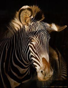 by Juan Jose Herrero Garcia / Especie Animal, Photography, Zebras, Continents, Parks, Naturaleza, Scenery, Animales, Photograph