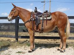 Don't be stubborn, find Mules for sale here to find your perfect mule companion. Buy or sell a mule from all around the country today. Pets For Sale, Horses For Sale, My Horse, Horse Love, Pretty Horses, Beautiful Horses, Draft Mule, Mules Animal, Horse Information
