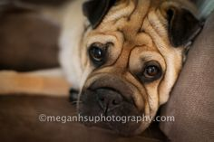 My sweet Lucy. She is an Ori-Pei which is half Shar-pei and half Pug. Taken by Megan Hsu Photography