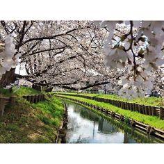 【kyoya87】さんのInstagramをピンしています。 《#2015 #日本 #japan #空 #sky #田舎 #いいところ #旅 #旅行 #景色 #scenery #自然 #travel #trip #写真 #picture #カメラ #camera #canon #トラック #truck #運転手 #driver #川 #creek #桜 #sakura #cherryblossom》