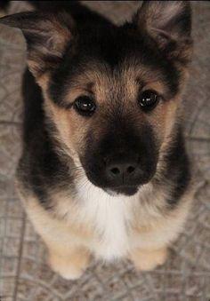 4e5235c29e8 German puppy! Like Chloe...  lt 3 Puppy Eyes