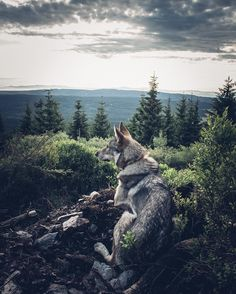 How to Take a Photo What are the Tricks? Beautiful Wolves, Animals Beautiful, Animals And Pets, Cute Animals, Wild Animals, Czechoslovakian Wolfdog, Wolf Spirit Animal, Wolf Pictures, Dog Photos