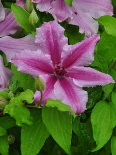 """""""The tag on this plant reads""""Patio Clematis.""""  ...sorry to have nothing more specific about the cultivar.  The short height (around 5ft) is perfect for a small plant support or obelisk."""""""