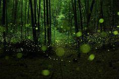 Durant le mois dernier, le photographe et artiste japonais Yume Cyan, a photographié des lucioles dans une zone boisée autour de la ville de Nagoya. En utilisant la technique de longue exposition, il est arrivé à capturer, grâce aux flash, la bioluminescence de tous ces petits insectes.    Une pluie de petits points verts remplissent chaque cliché et nous offrent un rendu magique… clin d'oeil au film d'animation, le tombeau des lucioles du studio Ghibli.