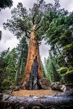 Mariposa Grove is a sequoia grove near Wawona California US in Yosemite National Park. It is the largest grove of Giant Sequoias in the park + 15 Best Things to Do in Yosemite National Park // #localadventurer #yosemite #visitcalifornia #california #findyourpark #usa #travel #wanderlust #outdoors #nature