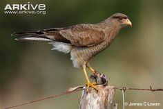 Chimango caracara perched with prey