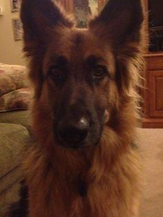 Isn't he precious? He's a long haired German Shepherd!