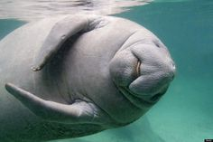 20 photos of Manatees...being very cute.  Huff Post Miami
