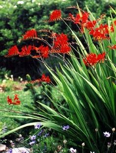 Crocosmia Lucifer Over 100 Seeds Fresh Harvested by RachelsLeaves, $5.99- looks like a good nectar plant/ beneficial bug plant.