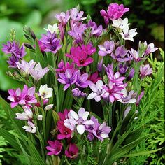Baboon Flower Bulb Mix from American Meadows, your trusted source for Other Spring Flower Bulbs.  We offer gardeners guaranteed Baboon Flower Bulb Mix and all the information and confidence needed to succeed.