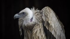 Gyps fulvus - Dear friends,  Thank you very much for your Like, positive comments and constructive criticism.  Ed