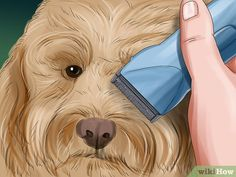 How to Groom a Goldendoodle. A goldendoodle is a wonderful dog breed that is a crossbreed of a poodle and a golden retriever. Dog Grooming Styles, Dog Grooming Clippers, Dog Grooming Salons, Dog Grooming Tips, Pet Tips, Goldendoodle Grooming, Mini Goldendoodle Puppies, Poodle Grooming, Bulldog Puppies