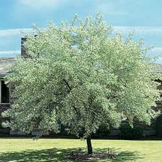 russian olive tree - the smell of summer