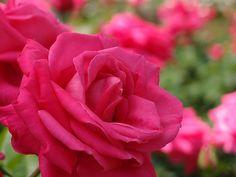 Rose Maria Callas バラ マリア カラス | Rose Maria Callas バラ マリア カラス … | Flickr