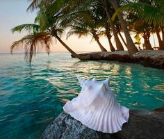 Conch shell in the tropics.